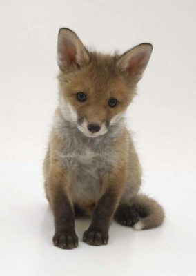 Baby Coyote or Fox