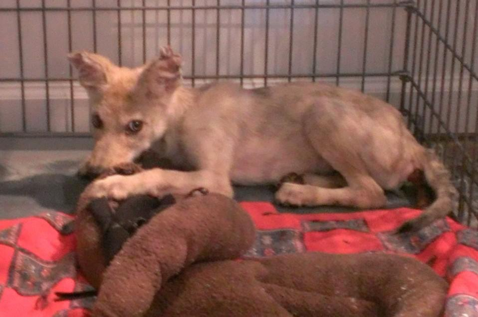 Young Coyote Pup with Severe Mange in Rehab