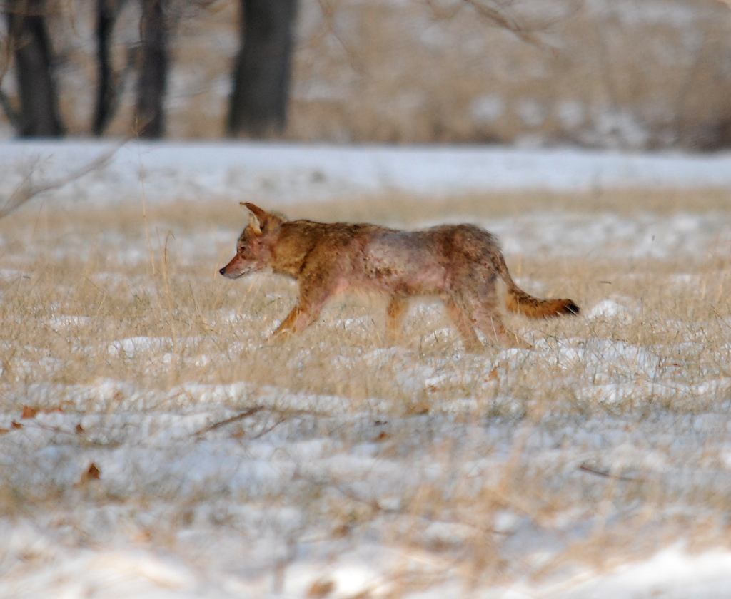 Adult Coyote with Severe Mange
