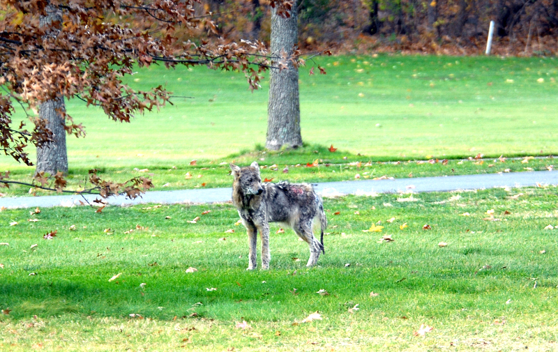 Adult Coyote with More Severe Mange