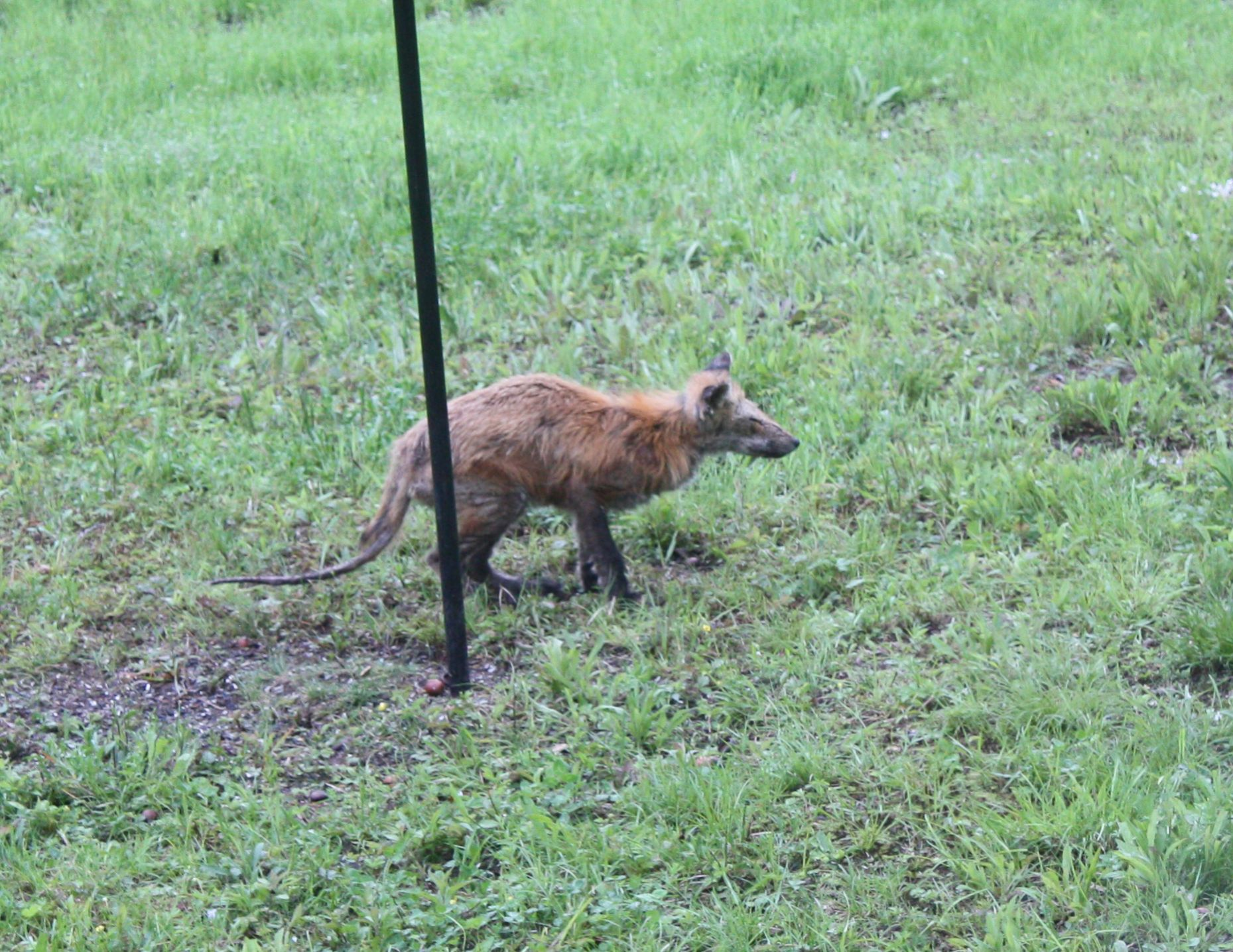 Red Fox with Advanced Mange