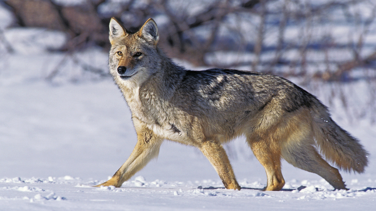 Healthy Adult Coyote