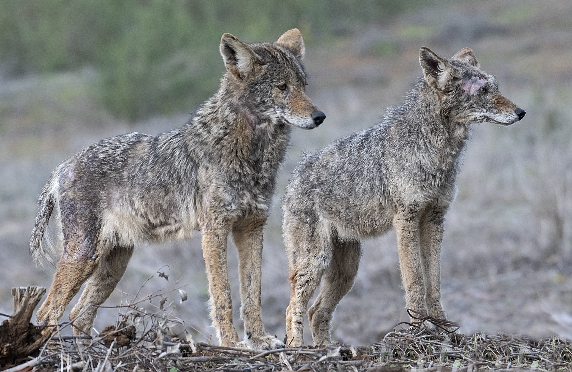 Coyotes with Mange (Beginning Stages)