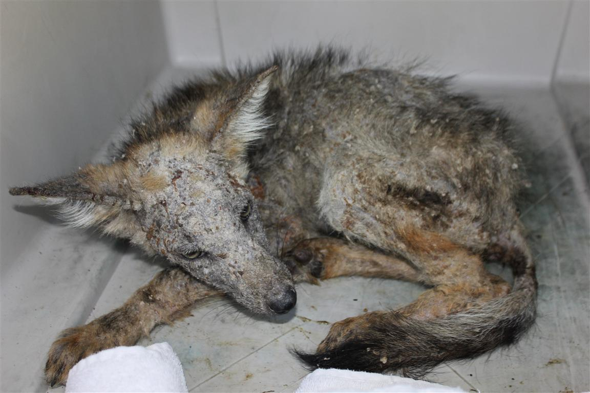 Close Up of Coyote with Severe Mange
