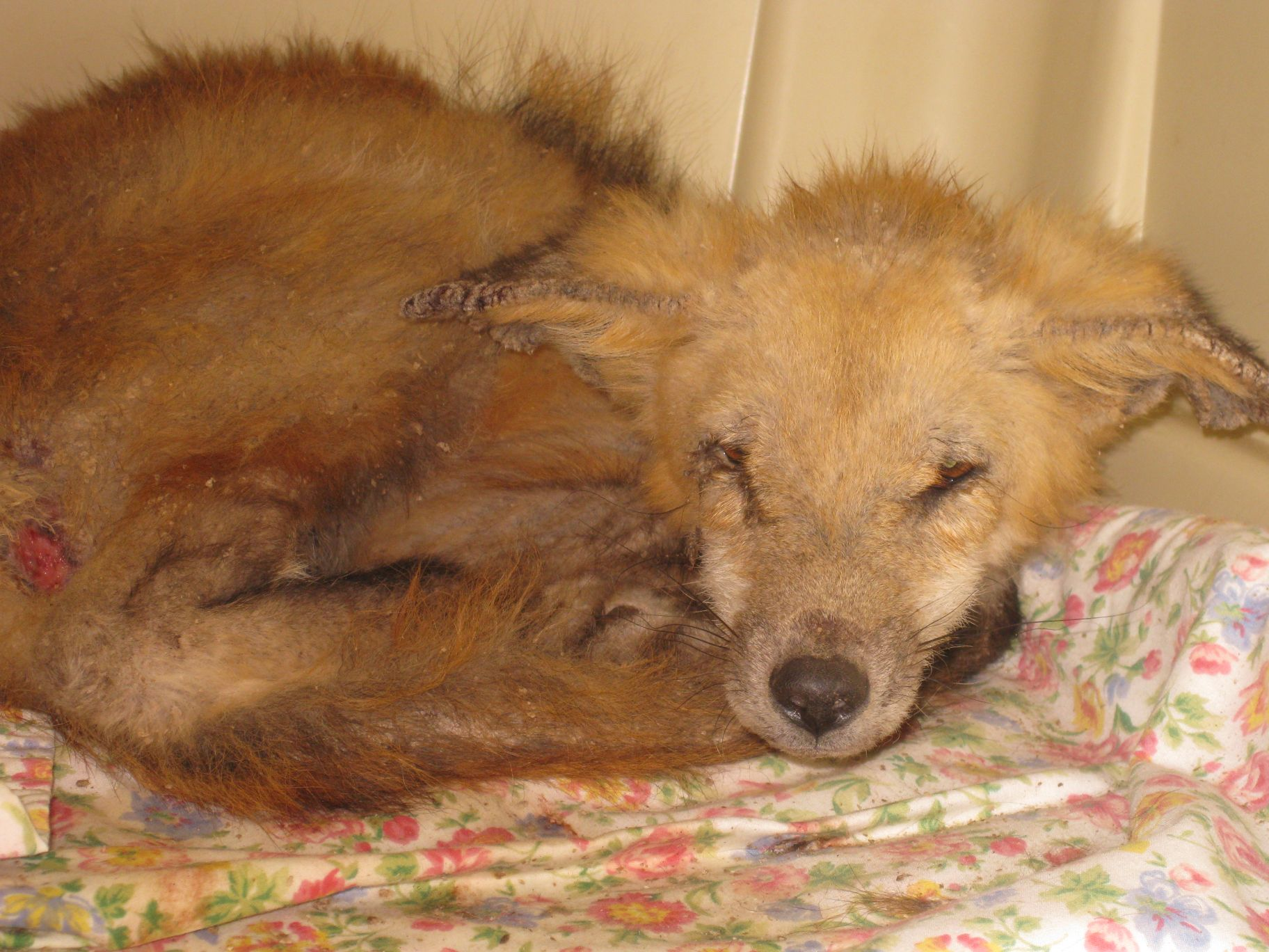 Red Fox with Severe Mange