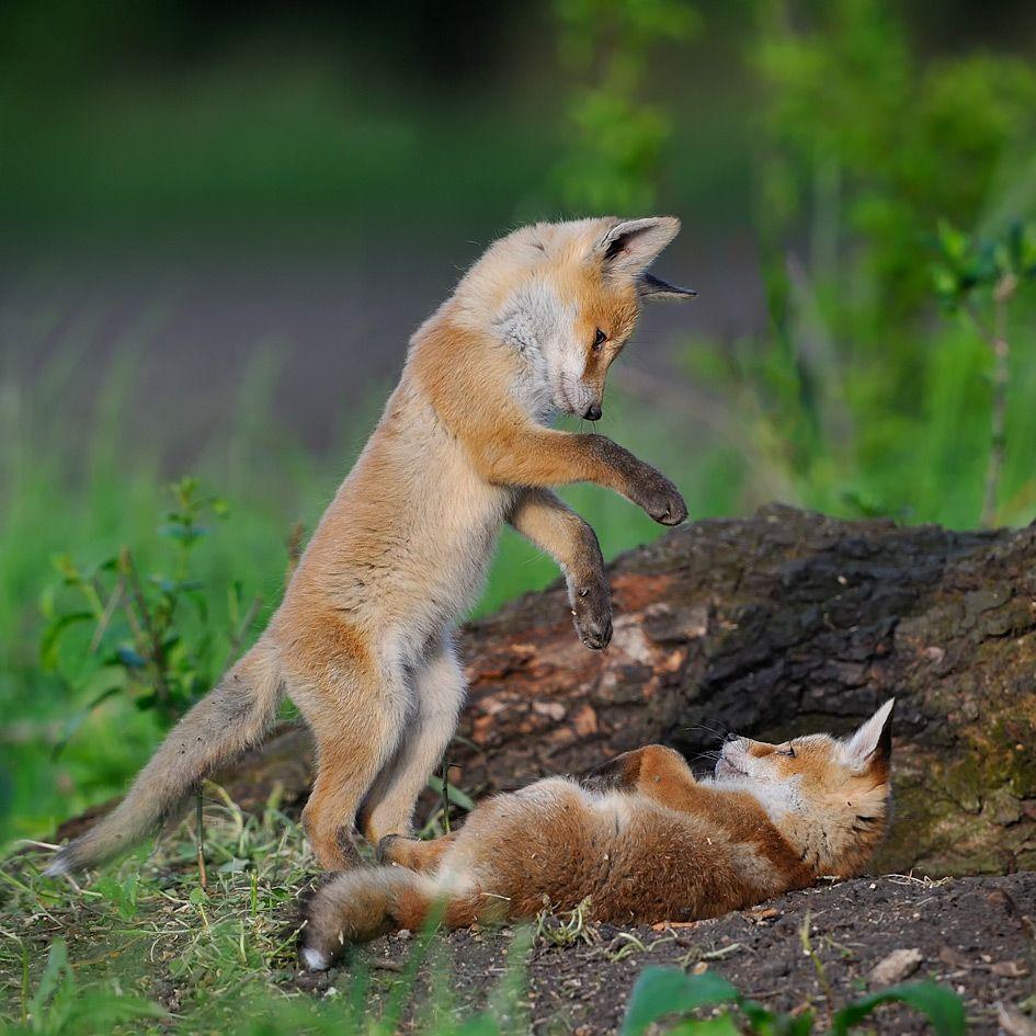 Healthy Red Fox Kits