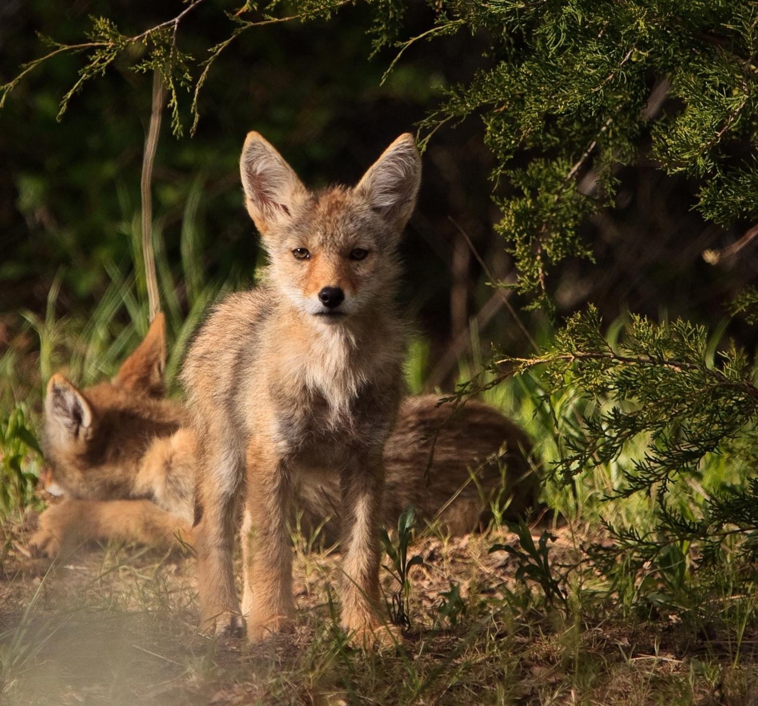 Healthy Coyote Pups